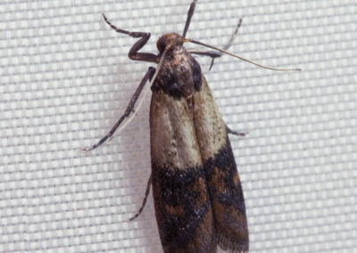 Pantry and Clothing Moths